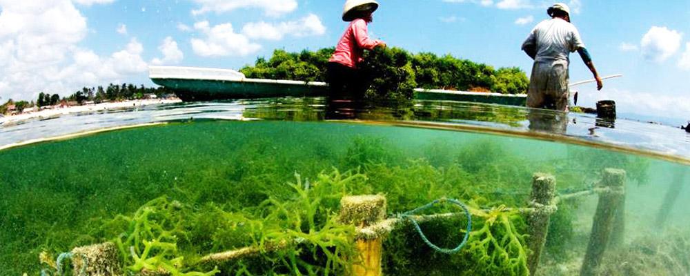 Plantación de algas