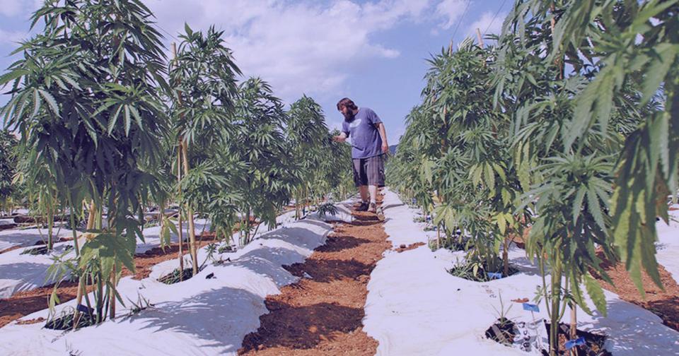 Empresas: Youngevity completa el trato para incrementar en 2200 acres sus cultivos de cáñamo.